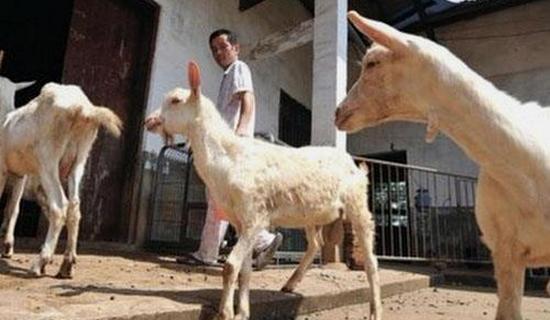 Китаец превратил крышу своего дома в овцеводческую ферму