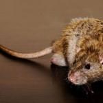 A rat 008 150x150 Самый (не)везучий человек в мире отказался от выигрыша в лотерею