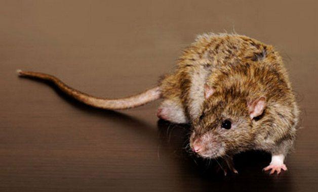 A rat 008 Южноафриканцы получают бесплатный мобильник за 60 пойманных крыс