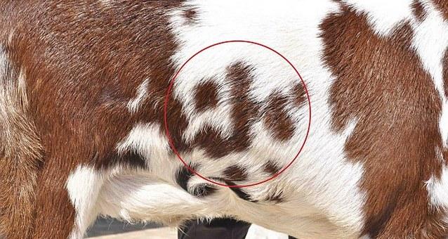 article 2223935 15B5EC8E000005DC 451 634x405 В Индии продается козел со словом Аллах на шерсти. Цена   $202 000