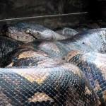 121101115042 snake 150x150 Китаец воспарил над пробками