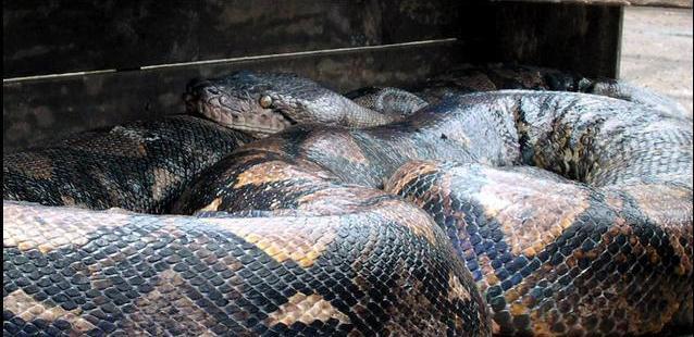 121101115042 snake Британские дипломаты потратили $16 000 на восстановление чучела змеи